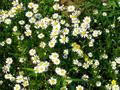 Anthemis sp.