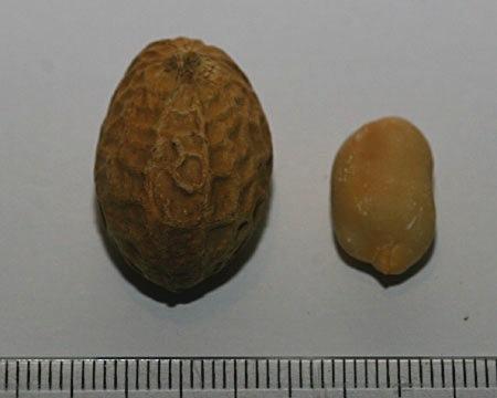 Arachis hypogaea, kikiriki