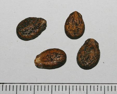 Citrullus lanatus, lubenica