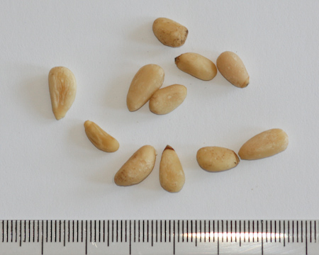 Pinus edulis, jestivi bor, pinjoli, pinije