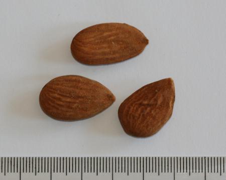 Prunus dulcis, badem