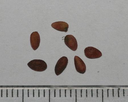 Sambucus nigra, bazga