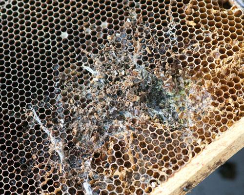 saće napadnute od voskovog moljca