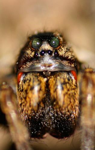 Lycosidae