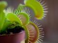 Dionaea muscipula, Venerina muholovka