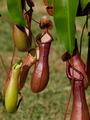 Nepenthes x ventrata, vrčasta mesožderka