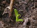 Nepenthes x ventrata, vrčasta mesožderka, mladi vrč