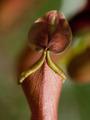 Nepenthes x ventrata, vrčasta mesožderka poklopac