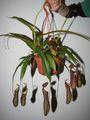 Nepenthes gracilima x ventricosa Rebecca Soper, vrčasta mesožderka