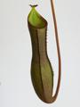 Vrč, Nepenthes gracilima x ventricosa Rebecca Soper