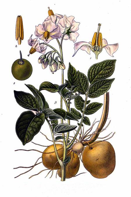 solanum_tuberosum-krumpir-potato
