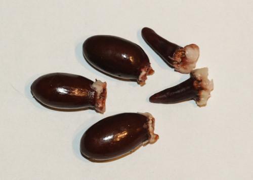 litschi-sjemenke